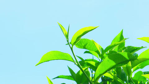 Zooming out video of fresh green tea leaves with morning dew. Sri Lanka Footage