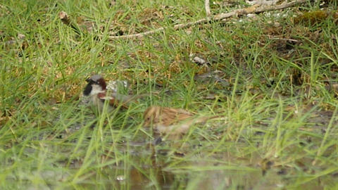 amazing sparrows family washing in puddle slow motion Footage
