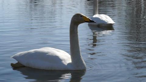 Whooper swan on water ビデオ
