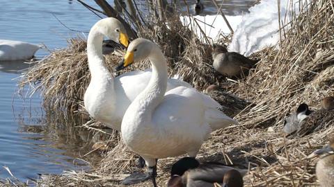 Whooper swan on water Footage