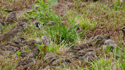 4K Flock of Sparrows Frightened by Something Suddenly Flies Away Footage
