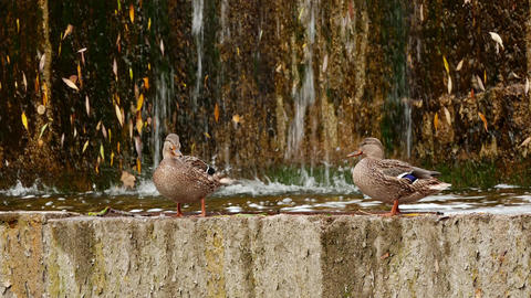 4K Two Ducks Against Artificial Waterfall Background Footage