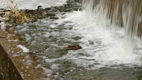 4K Duck Searching for Food in Turbulent Flow of Foamed Water Near The Footage