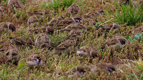 4K Flock of Sparrows Pecking Food in Green Grass Footage