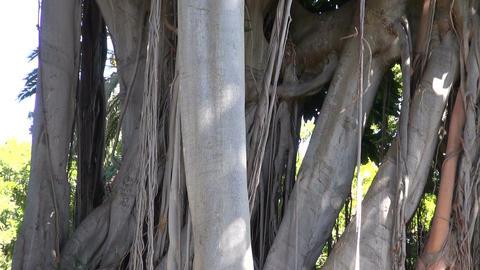 Ficus tree in botanical garden Footage