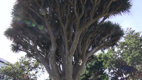 dragon tree Dracaena draco in botanical garden, Tenerife, Spain Live Action