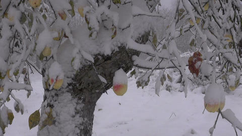 autumn snowfall in garden with apple-tree and apples Footage