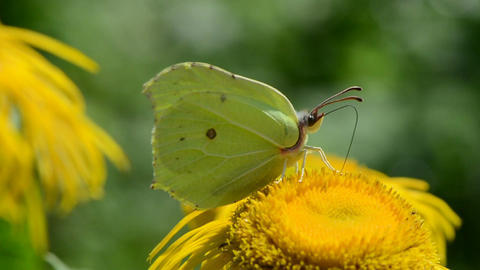 Brimstone butterfly on blossoming elecampane flower in garden Footage