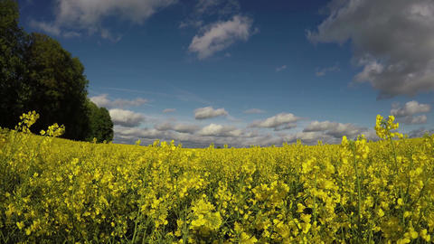 blossoming rapeseed farm field in wind and sunlight, 4K Footage
