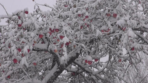autumn snowstorm covered with snow apple fruits on tree Footage