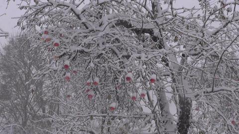 october snowfall in apple fruits garden in farm Footage
