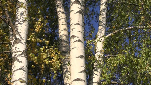Birch trees on windy day Footage