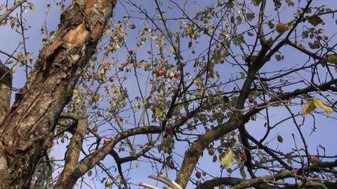 Gardener picking apples Footage