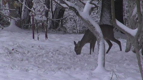 Roe deer in winter garden Footage