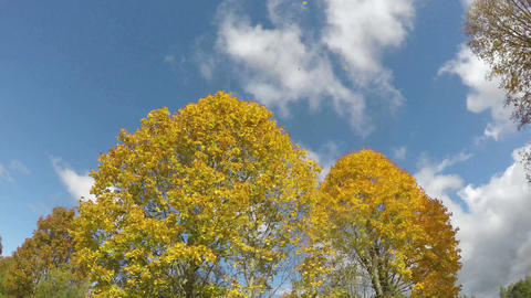Clouds passing over yellow maple trees, time lapse 4K Footage