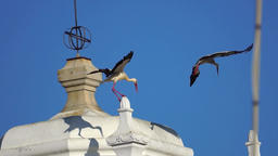 Two white storks landing Footage