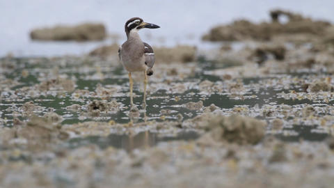 The beach stone-curlew also known as beach thick-knee bird risk for nearly extin Footage