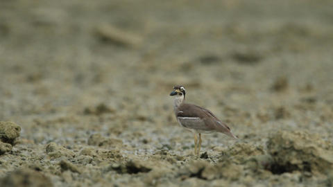 The beach stone-curlew also known as beach thick-knee... Stock Video Footage