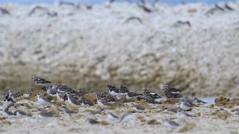Migratory birds on the coral beach in Thialand Filmmaterial