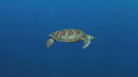 Green Sea turtle swims in blue water 4K Footage
