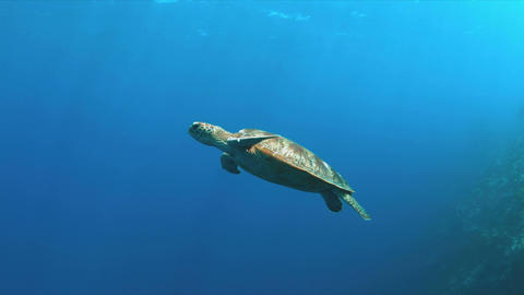 Green Sea turtle swims in blue water 4K Footage