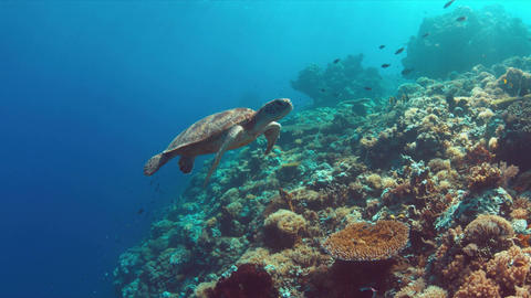 Green Sea turtle swims on a Coral reef 4K Footage