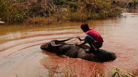 Boy washing an ox in small river in Myanmar Footage
