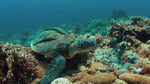 Green Sea turtle on a Coral reef 4K Footage