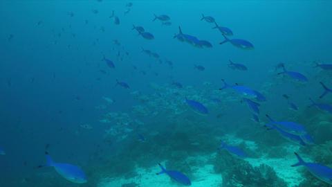 4k School of Black Snapper on a coral reef Footage