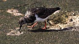 Common sandpiper (Actitis hypoleucos) Filmmaterial