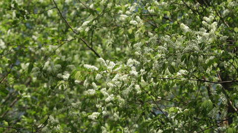 Blossom bird cherry trees wind swaying spring Footage
