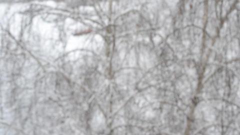 Snow falls on leafless birch Footage