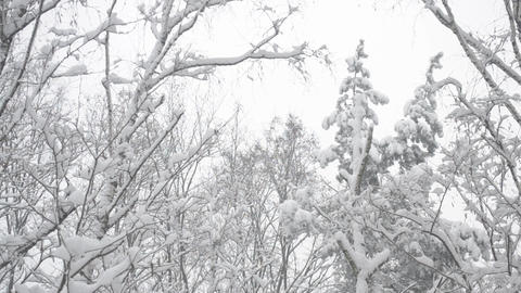 Tops of trees in forest in snow Footage