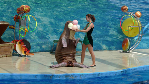 Performance of the sea lion in dolphinarium Footage