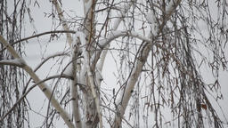 Snow falls on backdrop of tree Footage