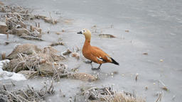 Feeding a Ruddy Shelduck Footage