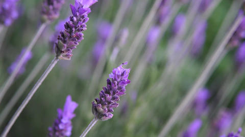Lavender flower Footage