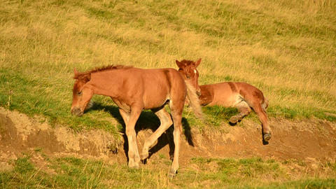 Two cute brown foals Footage