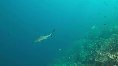Grey reef sharks on a coral reef 4k Footage