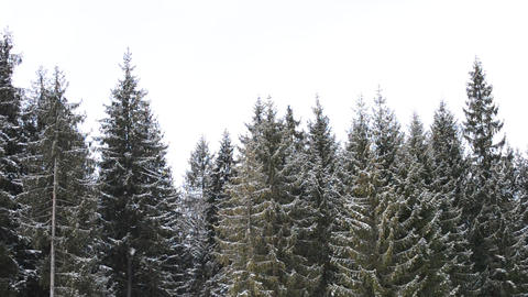 Snowing with Fir Trees Footage