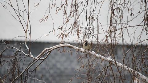Sparrow twitters on birch Footage