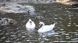 Two Mute Swans Play Footage