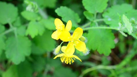 Greater Celandine Flower Footage