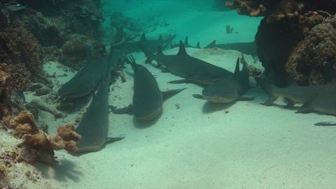 Whitetip Reef Sharks on sandy bottom 4k Footage
