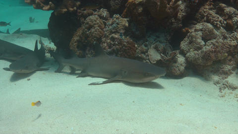 Whitetip Reef Sharks on sandy bottom 4k Footage