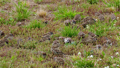 1080p Flock of Sparrows Pecking Food in Green Grass Footage
