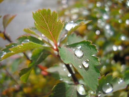 After the rain, raindrops on leafs フォト