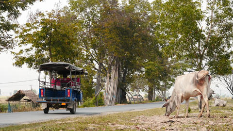 Road in rural terrain of Myanmar - with grazing cows aside 2016 Footage
