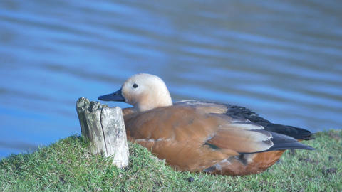 brown large ruddy shelduck near the lake water with weak waving Live Action
