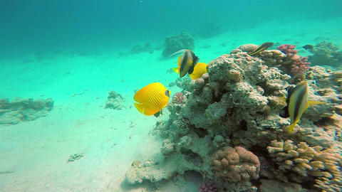 Yellow Fish On Vibrant Coral Reef, Red Sea Footage